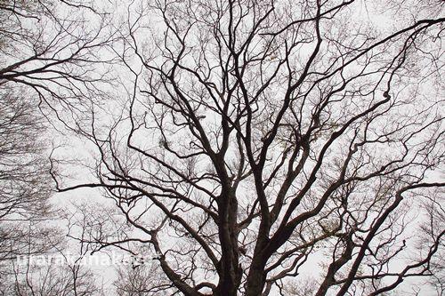 神秘的な樹形 ブナ