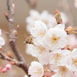 さくらんぼの花と蜂