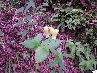 丹沢の花5