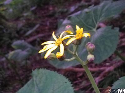 丹沢の花6