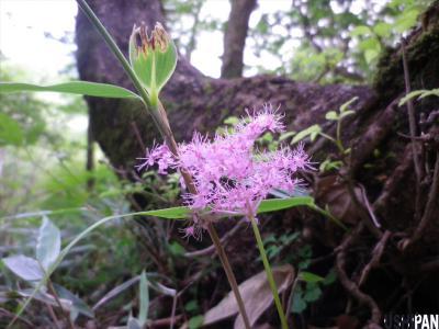 丹沢の花2