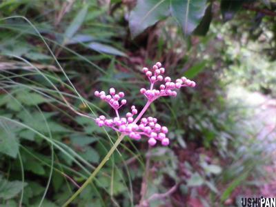 丹沢の花1