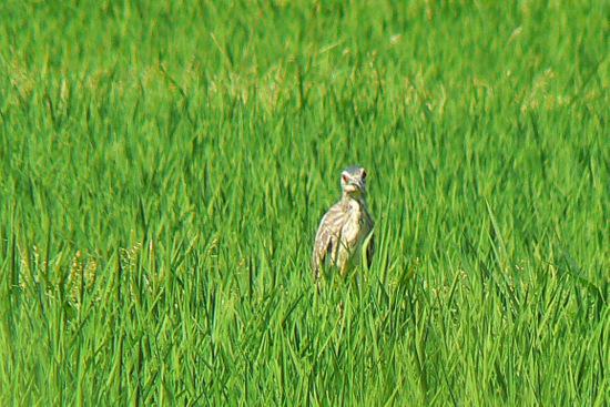 120630 ゴイサギ幼鳥4