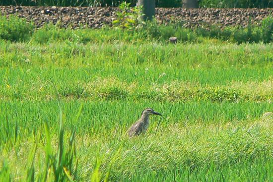 120630 ゴイサギ幼鳥1