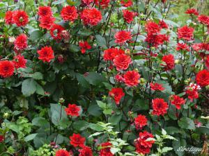 どんどん増える赤い花