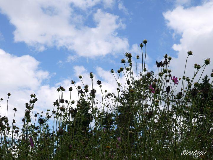 コスモスも花から種に