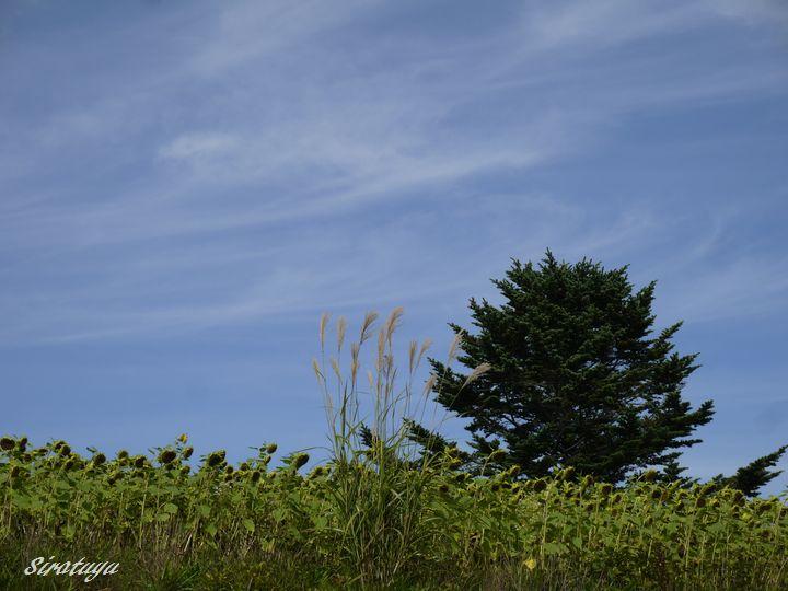 ヒマワリ畑の木