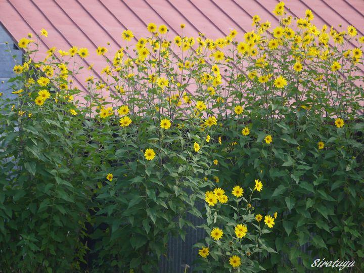 背が高い黄色い花