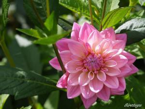 もも色の花
