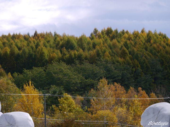 カラマツの紅葉の始まり