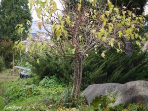 コデマリの葉が飛ばされる