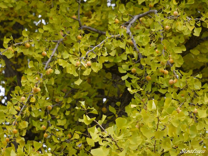 イチョウの木2
