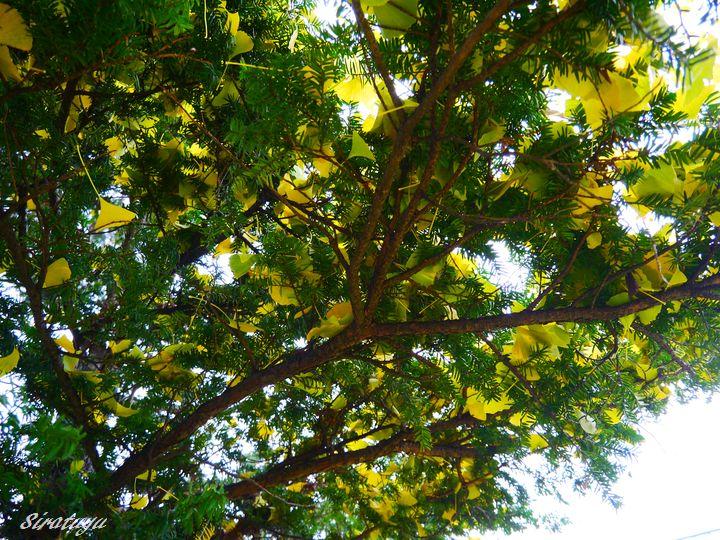 イチョウの隣の木