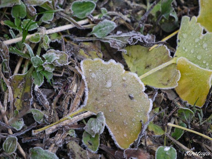 凍ったイチョウの葉