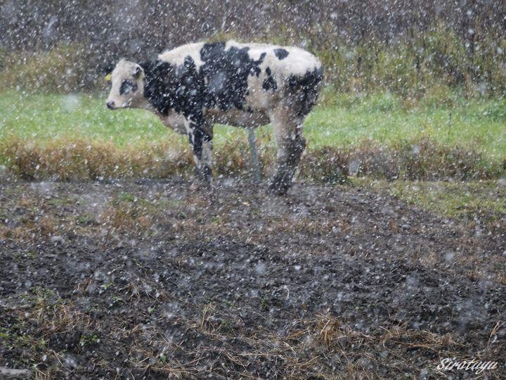 とうとう来たか雪