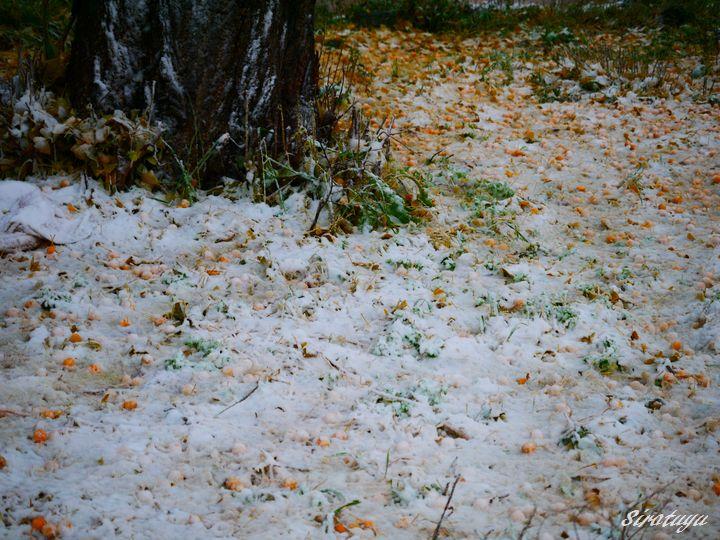 落ちた銀杏に雪