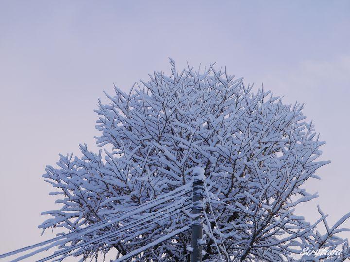 雪がもっこりイチョウの木