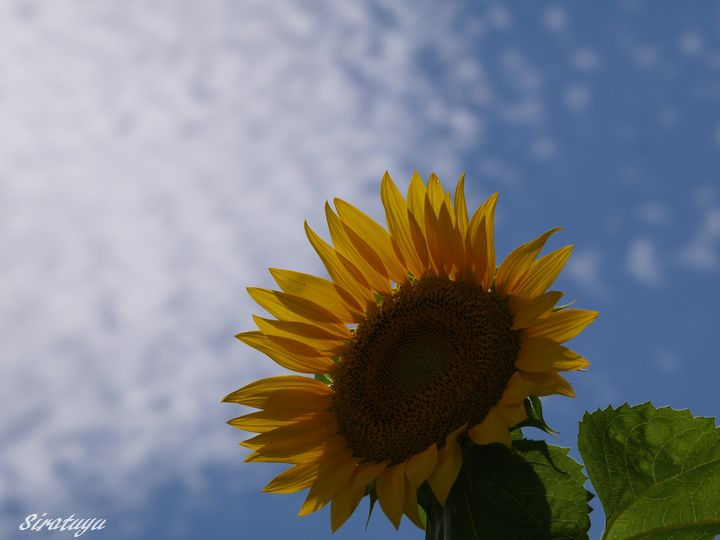 Sunflower6.jpg