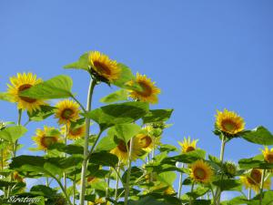 Sunflower7.jpg