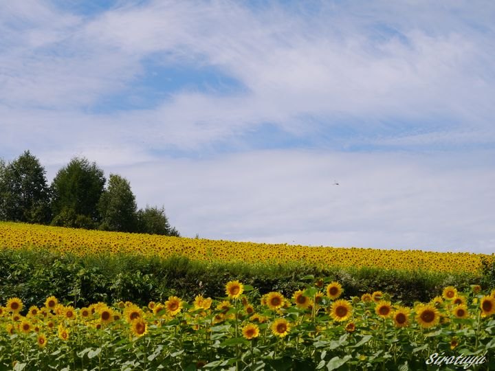 Sunflower9.jpg