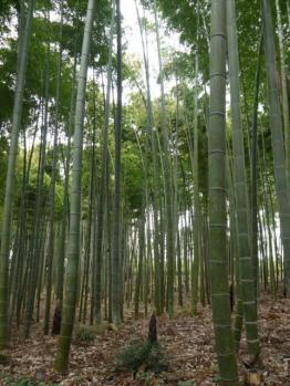 偕楽園竹林