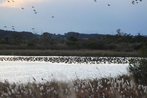 沼のガンの群れ