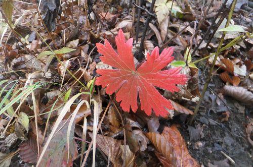 カイフウロ紅葉
