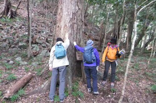 イチイガシ巨木