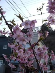 桜0311