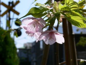 桜0311b