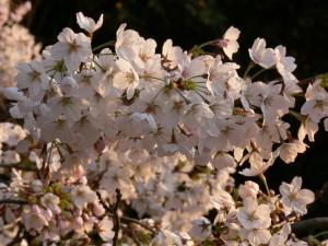 三渓園桜0325