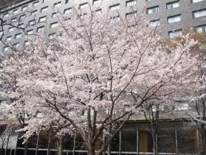 ホテルと桜0328