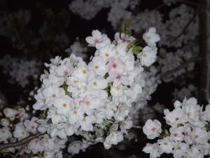 夜桜0330b