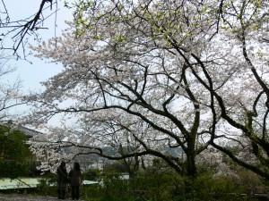 川喜多邸桜0408c