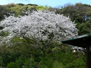 川喜多邸桜0408e