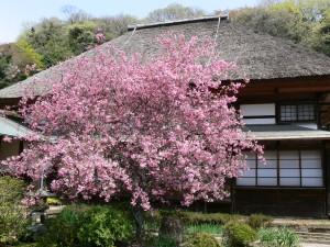 海蔵寺の海棠0409