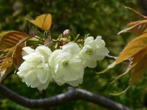 黄花桜0409b