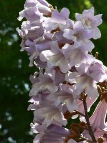 桐の花0505b