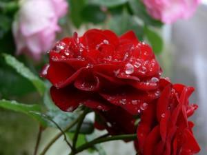薔薇の雫0527a
