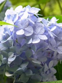 明月院紫陽花0701d