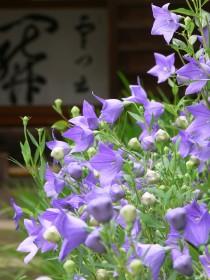 桔梗海蔵寺0708b