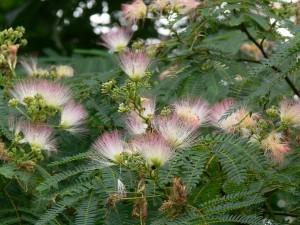 合歓の花0708a