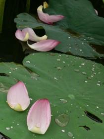 蓮の花びら0722a