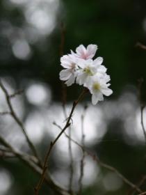 十月桜0923ta