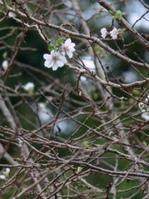 十月桜0923tb