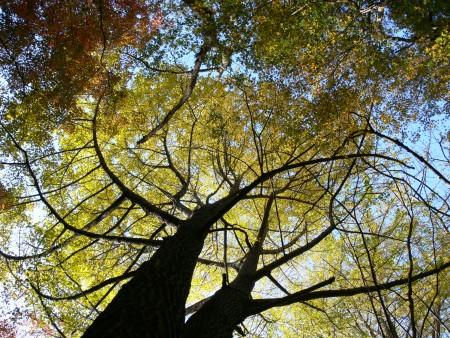 イチョウの木1202ta