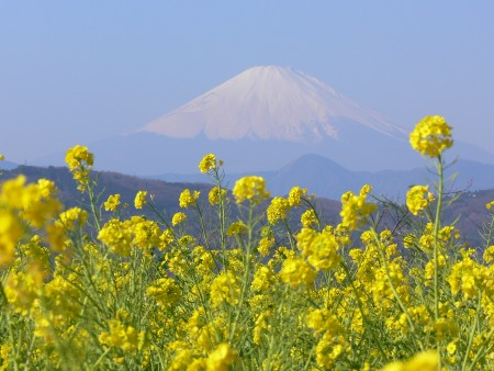富士山菜の花1230ta