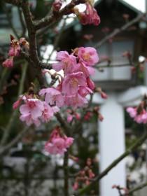 河津桜0121b