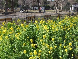 日比谷の菜の花0202a