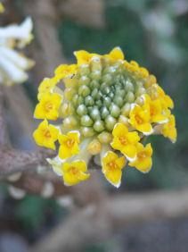 三椏の花0212b